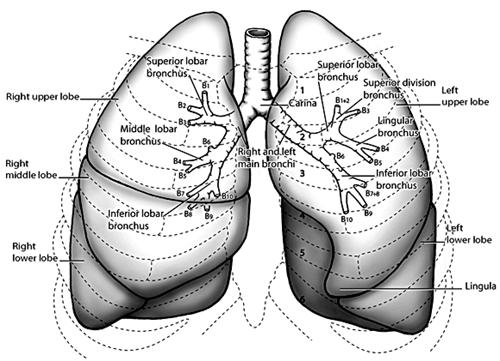 Dog lung anatomy